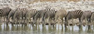 Zebras am Wasserloch im Etoscha Nationalpark