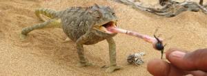 Chamäleon beim Essen bei Swakopmund