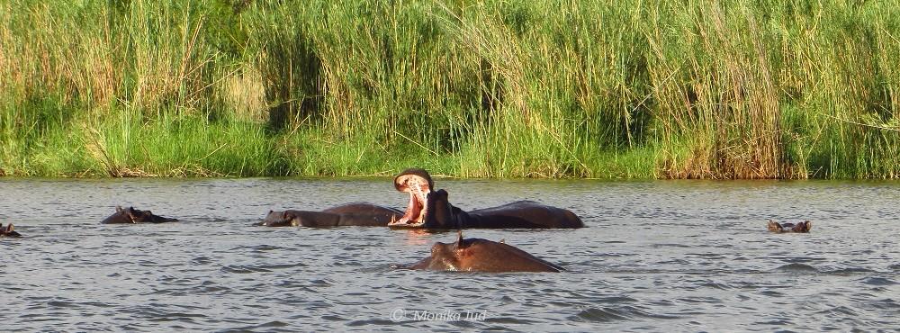 Nilpferde im Okavango River