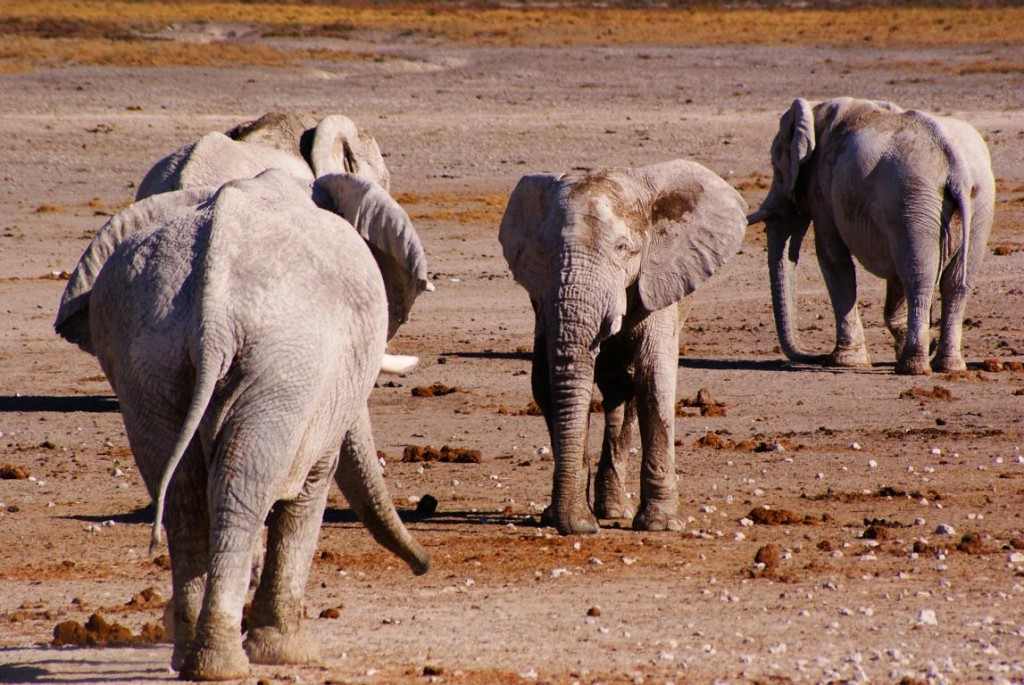 Chameleon-Safaris_elephants-at-Nebrownii-waterhole-Etosha-National-Park