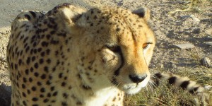 Gepard in Etoscha