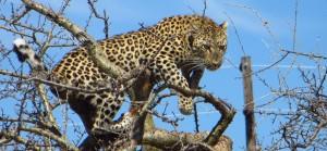 Leopard nahe Etoscha auf einem Baum