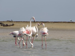 Flamingos in Walvis-Bay