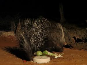 Porcupine-Camp_Stachelschweine-beim-Essen