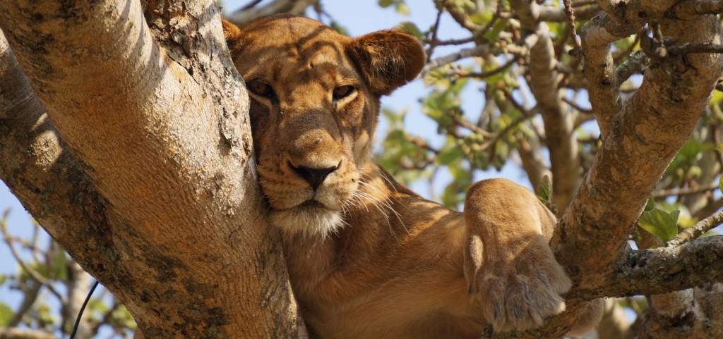 Löwe ganz entspannt im Baum