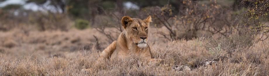 Löwe am Dösen