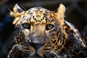 Leopard hautnah