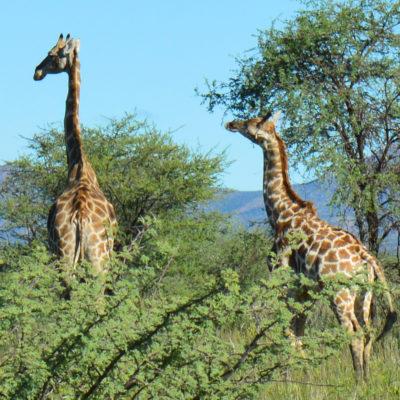 Giraffen in der Buschsavanne auf Onduruquea