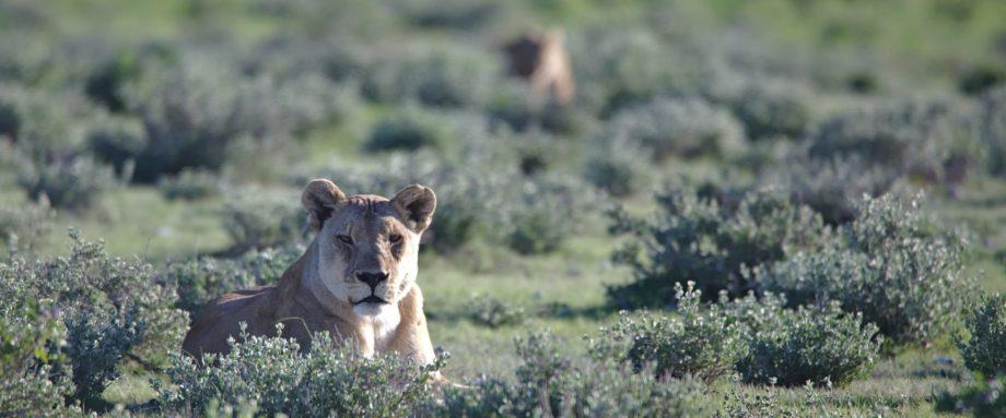 Löwe während der Regensaison liegt in der Grassavanne des Etosha-Nationalparks und schaut aufmerksam in die Kamera