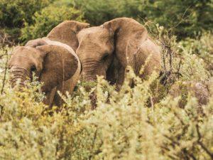 Elefantenherde im grünen Etosha-Park in der Regensaison