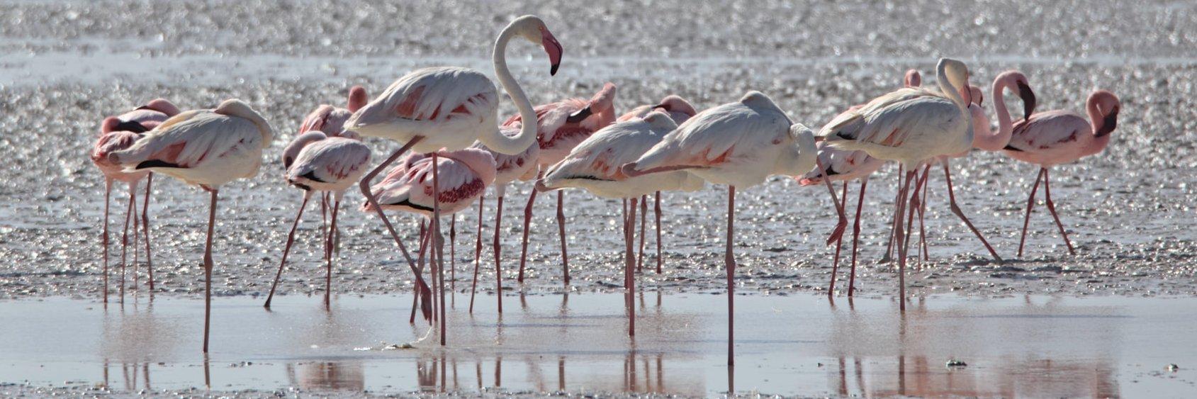 Flamingos im Osten der Etosha-Pfanne Namibias zur Regenzeit