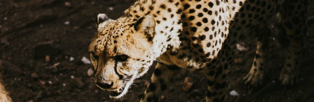 Gepard in Namibia vom Cheetah Conservation Fund