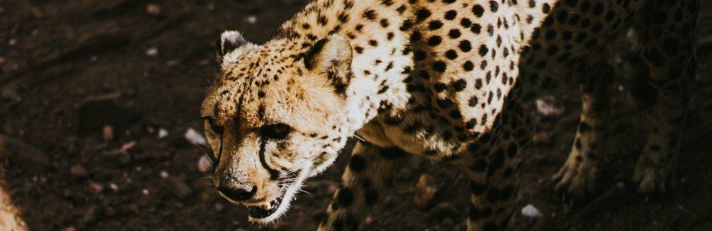 Gepard in Namibia vom Cheetah Conservation Fund