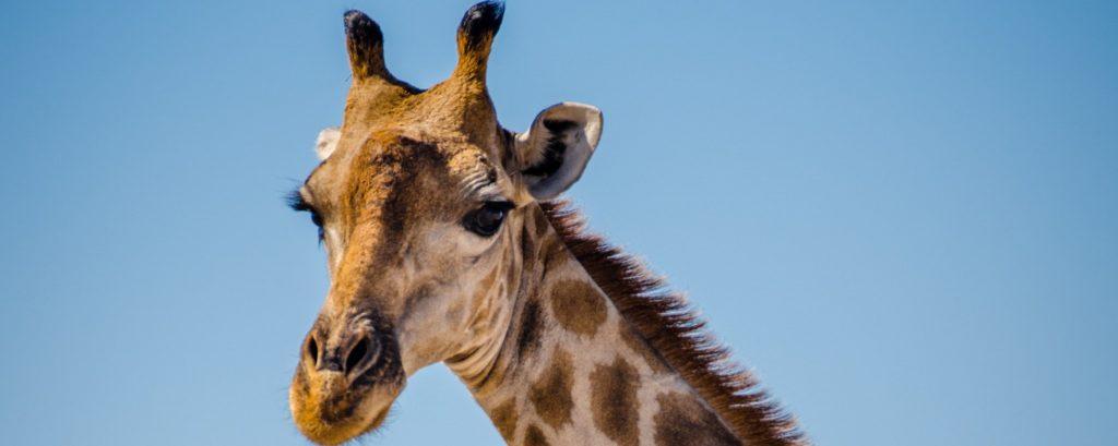 Giraffe im Etosha-Nationalpark in Namibia