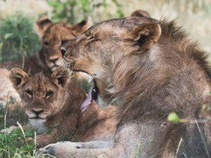 Löwenfamilie im Etosha Park in Namibia