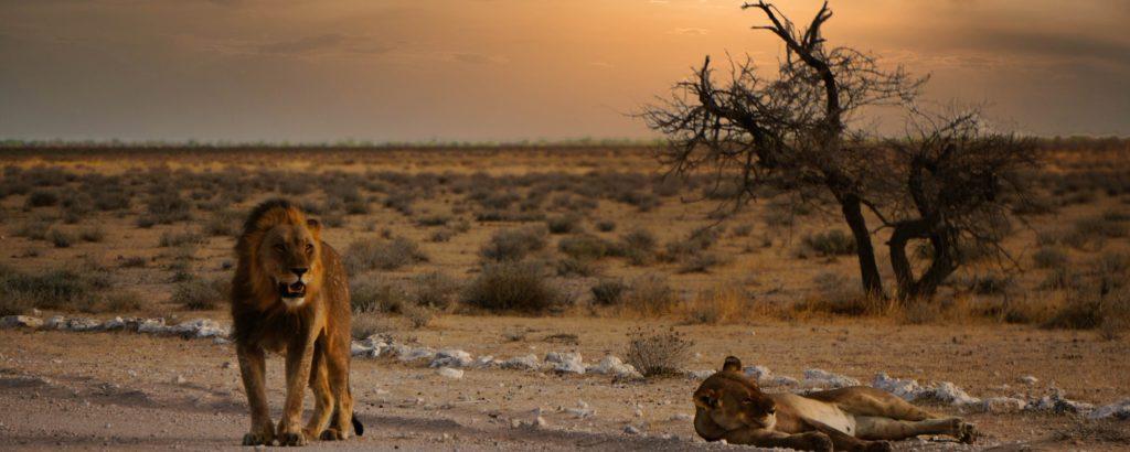 Straße und Graslandschaft des Etosha Parks mit Sonnenuntergang im Hintergrund. 1 Löwe und eine Löwin stehen und liegen direkt am Straßenrand.